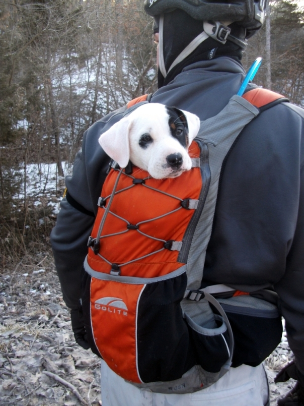 Puppy in a Golite Rush Pack