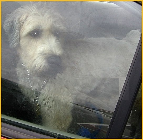 Wheaten Terrier through window