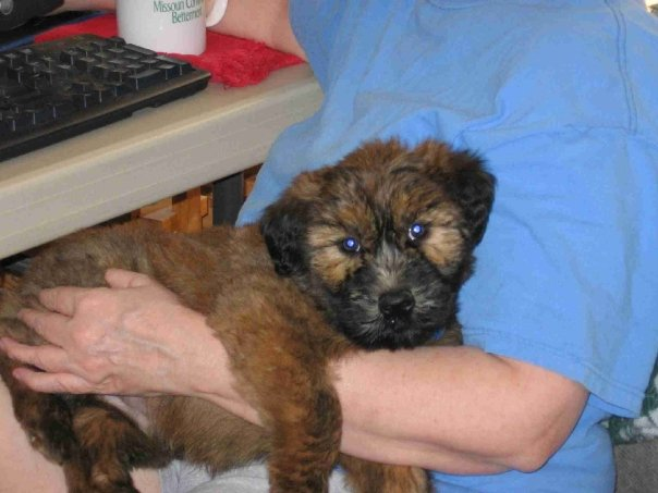 Wheaten Terrier Puppy